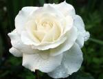 white rose (2)
